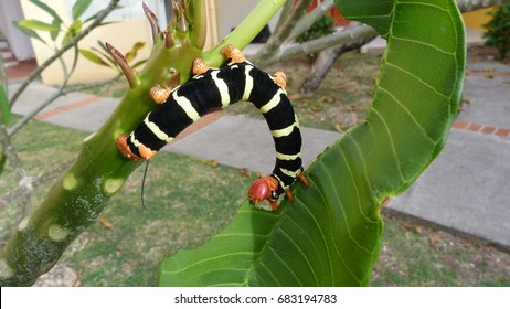 Caterpillar on sheet in Martinique