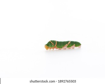 Caterpillar on white background. Space for text
