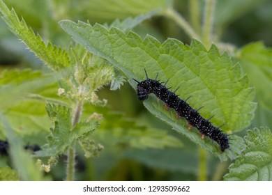 caterpillar of a peacock