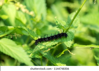 Caterpillar of peacock butterfly eats the leaves of the nettle (Aglais io)