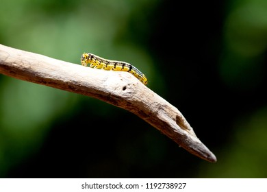 Caterpillar perched on a branch, a butterfly caterpillars before