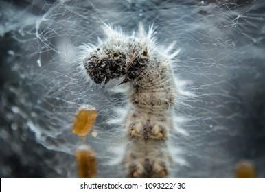 Caterpillar preparing for metamorphosis