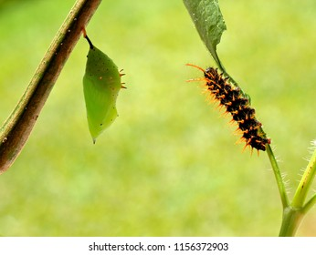 caterpillar of a rusty tipped page butterfly spiroeta epaphus crawling on a leaf in front of a pupa blurred green background space to put text