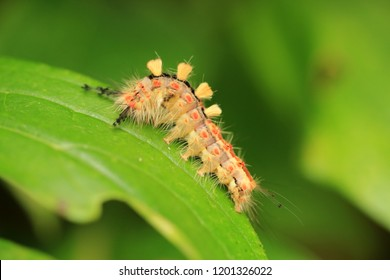 Caterpillar of the rusty tussock moth or vapourer