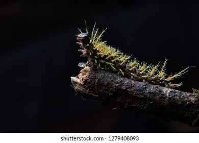 caterpillar of a tropical butterfly, a beautiful poisonous animal from the Amazon rain forest in Colombia
