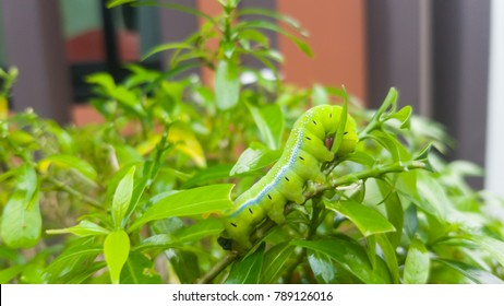 Caterpillar worm enjoy eating leaves as food, Closeup the  green worm climbing on tree , Before the moths.