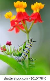 Caterpillars climbing a flower