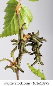 Caterpillars of the Kentish Glory (Endromis versicolora) eating from a birch tree leaf