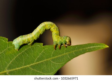 Caterpillars, the larvae of butterflies and moths, feed almost exclusively on plants. Pestle in the garden, pest in the forest.