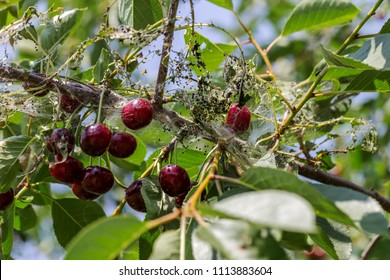 Caterpillars made cocoons on tree. Caterpillars ate all leaves in tree and twined branches of web in cocoon. Caterpillar of butterfly in cocoon on branches of perishing tree. Agricultural Pests