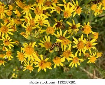 Caterpillars on flowers, Seaton Carew Sand Dunes, Hartlepool, England