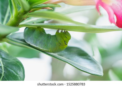 Caterpillars on leaves with blur background. Close up beautiful green caterpillar. Beautiful caterpillar creeps on big green leaf.