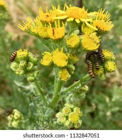 Caterpillars on yellow flowers, Seaton Carew Sand Dunes, Hartlepool, England