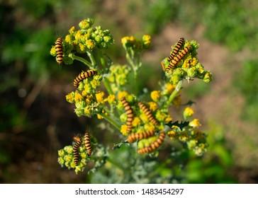 Caterpillars of the Stagweed Bear (Tyria jacobaeae) Location: Germany, North Rhine-Westphalia, Borken