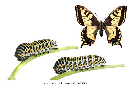 Caterpillars of the swallowtail (Papilio machaon) and the adult butterfly