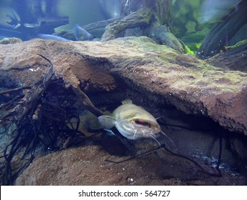 Catfish hides under a rock in  underwater scene