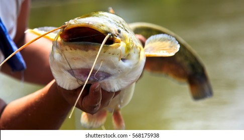Catfish Stock Images Royalty Free Images Amp Vectors