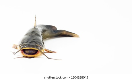 Catfish isolated on white background. Caught in Columbia river, Oregon.