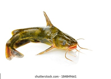 Catfish isolated on a white background