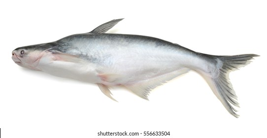 catfish isolated on white background
