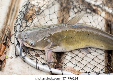 Catfish in Net