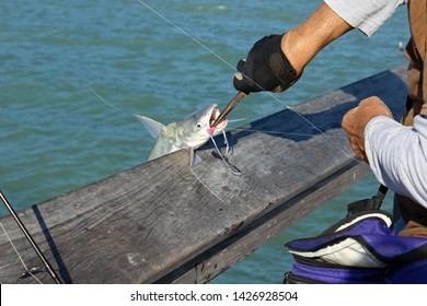 Catfish, scientific name Siluriformes, being released from hook by fisherman with needle nose pliers. Catfish have barbels, resembling a cat's whiskers, housing taste buds and used to search for food.