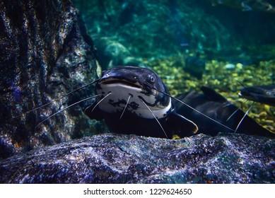 Catfish swimming / Underwater photography of big head catfish marine life - Redtail catfish black Phractocephalus hemioliopterus