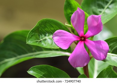 Catharanthus roseus (Cape Periwinkle, Bringht Eye, Indian Periwinkle, Madagascar Periwinkle, Pinkle-pinkle, Pink Periwinkle, Vinca) ; A colorful of fully blossoming flower, contrast with green leaf.