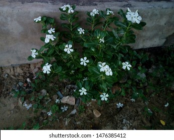 Catharanthus roseus, commonly known as bright eyes, Cape periwinkle, graveyard plant, Madagascar periwinkle.