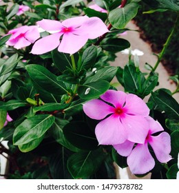 Catharanthus roseus, commonly known as bright eyes, Cape periwinkle, graveyard plant, Madagascar periwinkle, old maid, pink periwinkle, rose periwinkle,is a species of flowering plant in the dogba