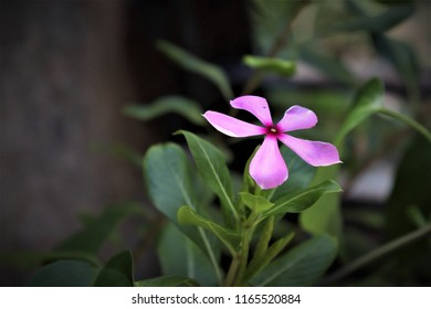 A Catharanthus roseus, commonly known as the Madagascar periwinkle, rose periwinkle, or rosy periwinkle