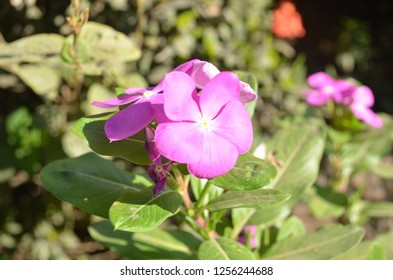 Catharanthus roseus, commonly known as the Madagascar periwinkle, rose periwinkle, or rosy periwinkle, a species of flowering plant in the dogbane family Apocynaceae with oval to oblong leaf