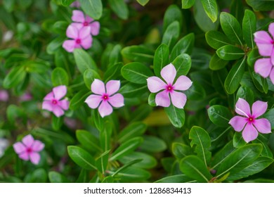 Catharanthus roseus, commonly known as the Madagascar periwinkle, rose periwinkle, or rosy periwinkle
