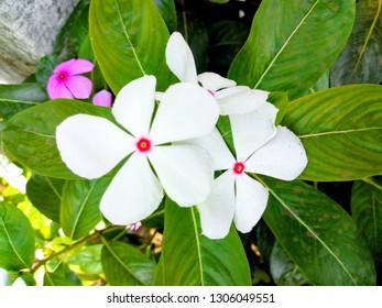 Catharanthus roseus, commonly known as the Madagascar periwinkle, rose periwinkle, or rosy periwinkle, is a species of flowering plant in the dogbane family Apocynaceae.