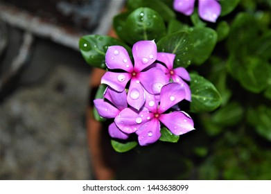 Catharanthus roseus, commonly known as the Madagascar periwinkle, rose periwinkle, or rosy periwinkle.Water droplets on beautiful flowers.