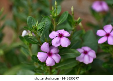 Catharanthus roseus, commonly known as the Madagascar periwinkle, rosy periwinkle, is a species of flowering plant in the dogbane family Apocynaceae. It is native and endemic to Madagascar