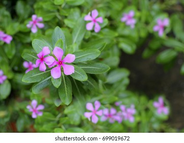 Catharanthus roseus, commonly known as the Madagascar periwinkle, rosy periwinkle or teresita