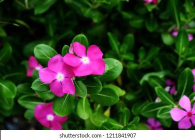 Catharanthus roseus G.Don Vinca rosea Linn. Madagascar periwinkle, Vinca,Old maid, Cayenne jasmine, Rose periwinkle