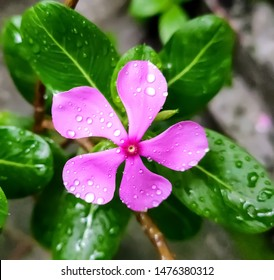 Catharanthus roseus known as Cape periwinkle, Indian periwinkle, Madagascar periwinkle, pink periwinkle, pinkle-pinkle;colourful of fully blossoming flower and rain drops