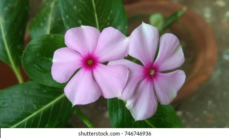 Catharanthus roseus also known as Madagascar periwinkle or Rose periwinkle or rosy periwinkle or teresita or Vinca rosea.