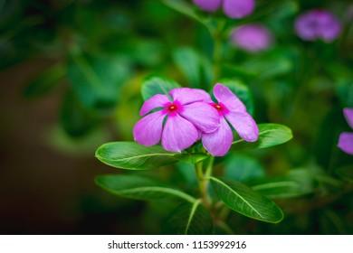 Catharanthus roseus the Madagascar periwinkle, rose periwinkle, or rosy periwinkle flower