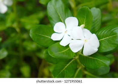 Catharanthus roseus or madagascar periwinkle or rose periwinkle white flowers with green leaves