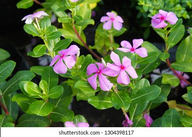 Catharanthus roseus or madagascar periwinkle or rose periwinkle pink flowers