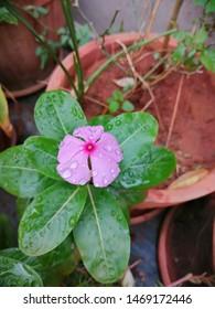Catharanthus roseus Madagascar periwinkle rose periwinkle rosy,flowering plant