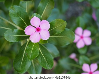 Pink plant tropical flowers madagascar periwinkle stock photo edit catharanthus roseus or madagascar periwinkle or rosy periwinkle is a species of flowering plant in the mightylinksfo