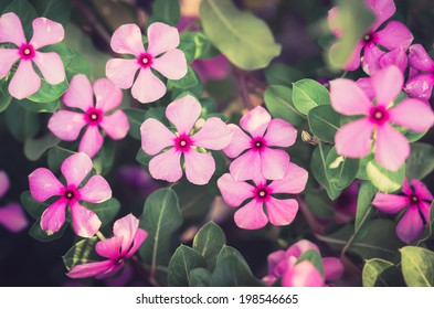 Catharanthus roseus or Periwinkle or Madagascar rosy periwinkle or Cape periwinkle or rose periwinkle or rosy periwinkle or and Old-maid flower vintage