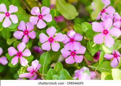 Catharanthus roseus or Periwinkle or Madagascar rosy periwinkle or Cape periwinkle or rose periwinkle or rosy periwinkle or and Old-maid flower