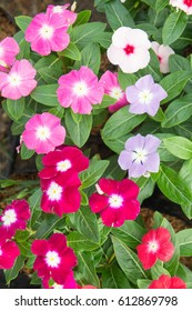 Catharanthus roseus Planted to decorate the house or garden.