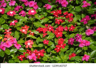 Catharanthus roseus. Shrub flower used as medication herb.