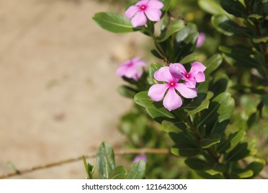 Catharanthus roseus.commonly known as the Madagascar periwinkle, rose periwinkle, or rosy periwinkle.It is an medicinal plant is widely used in Seychelles for a variety of ailments. copy space